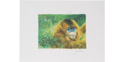 Joel Kirk Print - Golden Snub-Nosed Monkey